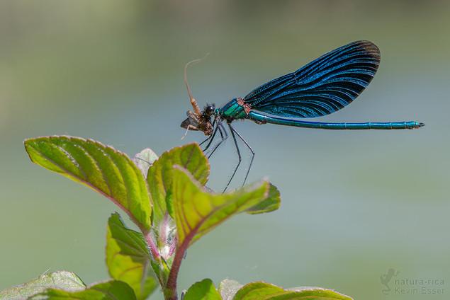 Calopteryx virgo - Beautiful Demoiselle, with prey