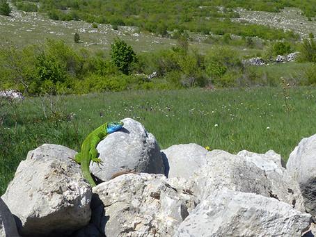 Schuppiger Smaragd
