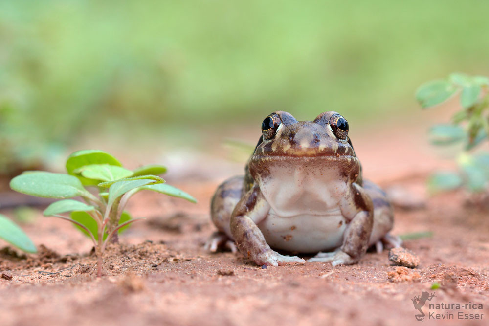 Leptodactylus bufonius - Shovel-nosed Chamber Frog
