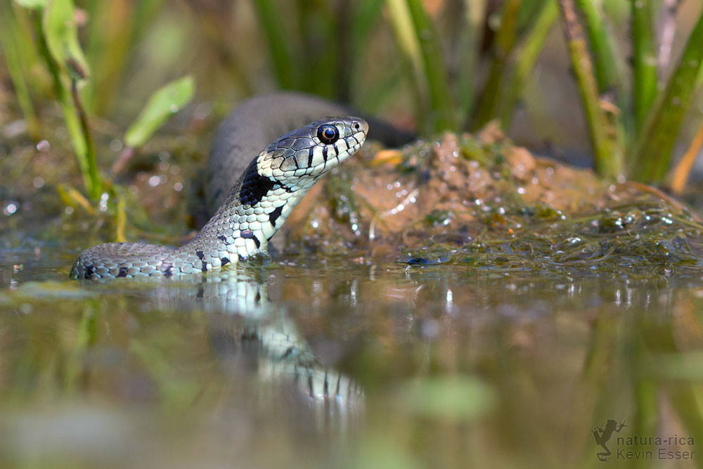 Natrix natrix - Grass Snake