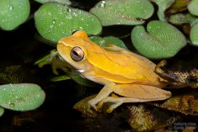 Dendropsophus phlebodes - San Carlos Treefrog