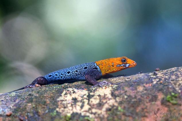 Gonatodes albogularis - Yellow-headed Gecko