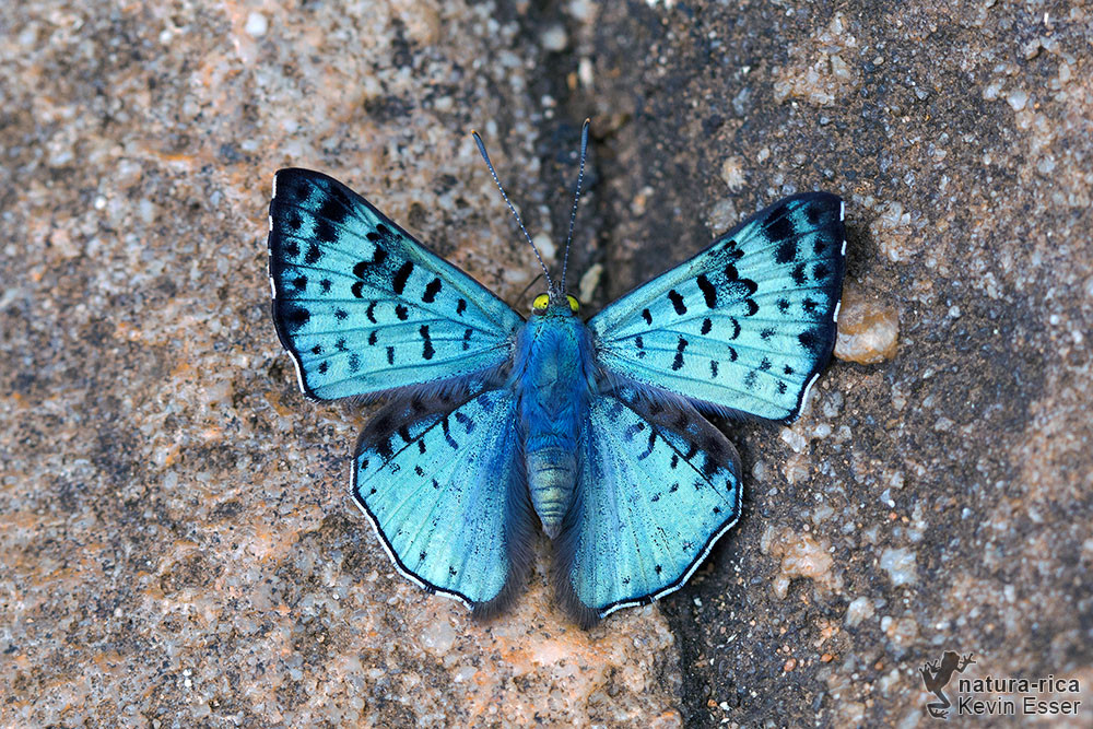 Lasaia agesilas - Glittering Sapphire