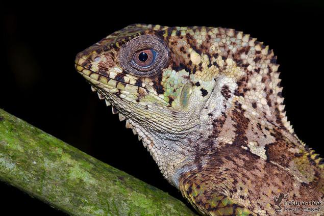 Corytophanes cristatus - Helmeted Iguana