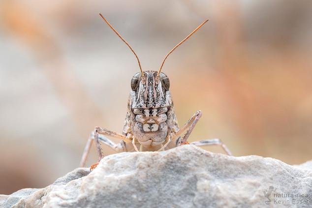 Calliptamus italicus - Italian Locust