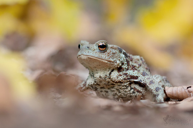 Bufo bufo - Common Toad