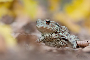 Bufo bufo - Common Toad