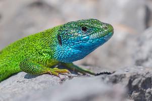 Lacerta viridis - Östliche Smaragdeidechse
