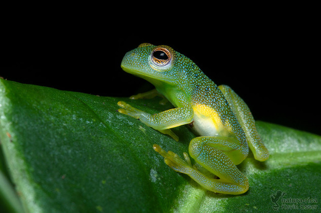 Cochranella granulosa - Granular Glass Frog