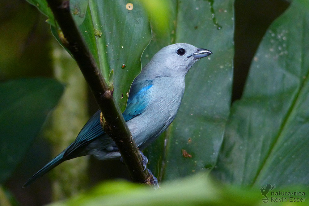 Thraupis-episcopus - Blue-gray Tanager