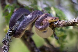 Zamenis longissimus - Aesculapian Snake
