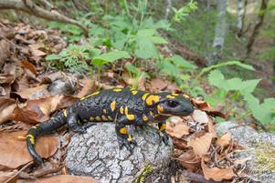 Salamandra salamandra - Feuersalamander