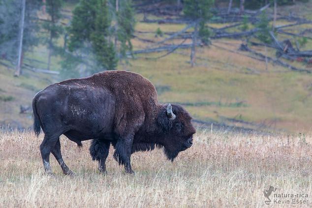 Bison bison - American Bison