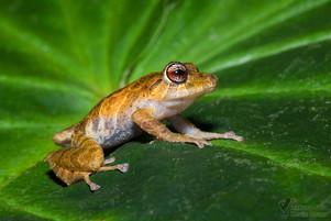 Pristimantis cruentus - Chiriqui Frosch