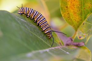 Danaus plexippus - Monarch, caterpillar