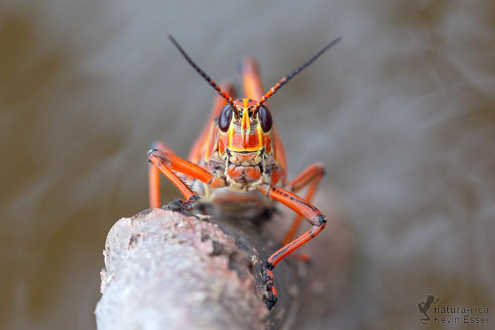 Romalea microptera - Östliche Lubberschrecke, adult