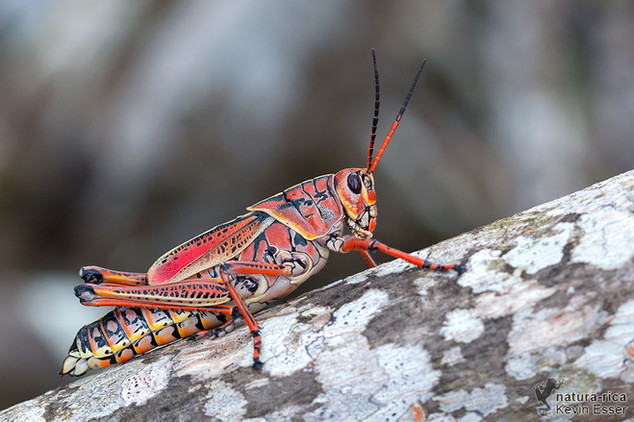 Romalea guttata - Eastern Lubber Grasshopper