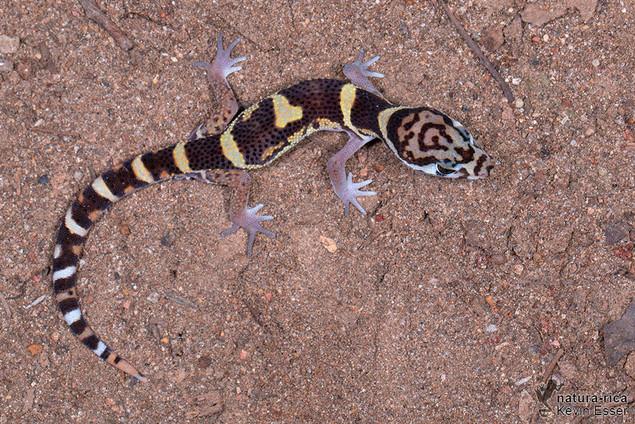Coleonyx mitratus - Banded Gecko