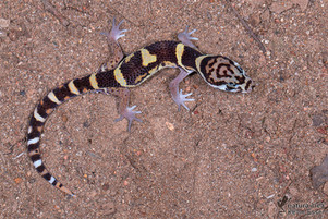 Coleonyx mitratus - Mittelamerikanischer Krallengecko