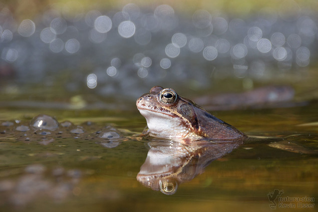 Rana temporaria - Common Frog