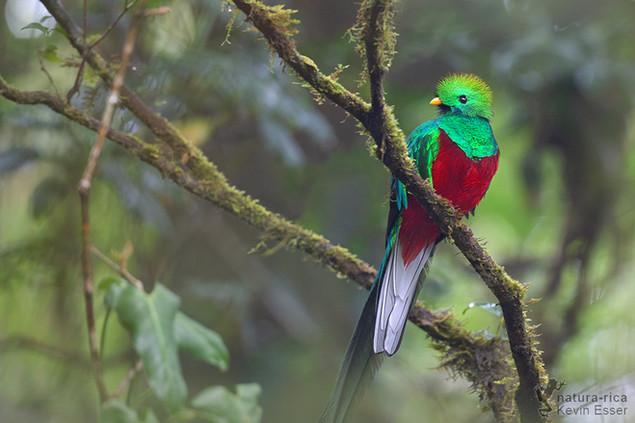 Pharomachrus mocinno - Quetzal