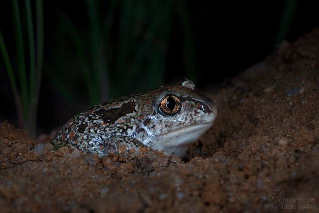 Pelobates fuscus - European Spadefoot Toad