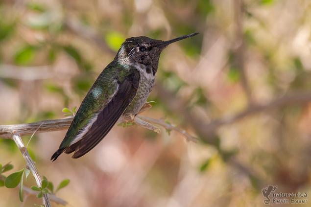 Calypte costae - Costa's Hummingbird