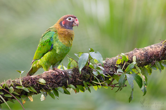 Pyrilia haematotis - Brown-hooded Parrot