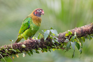 Pyrilia haematotis - Brown-hooded Parrot