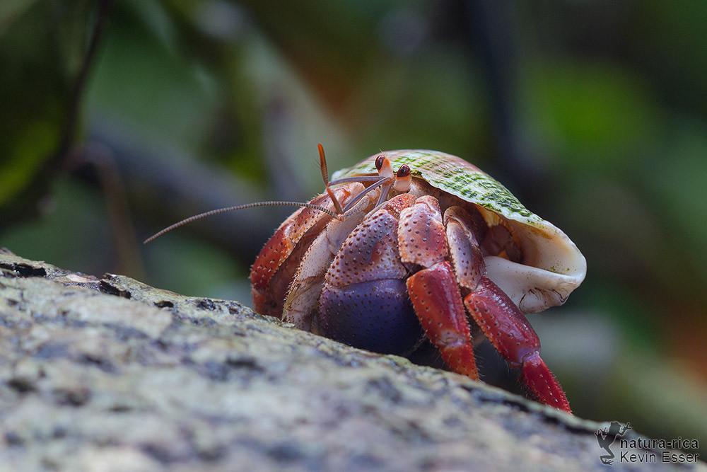 Coenobita clypeatus - Caribbean Hermit Crab