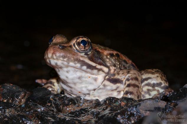 Rana draytonii - California Red-legged Frog