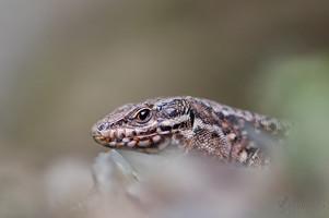 Podarcis muralis - Common Wall Lizard