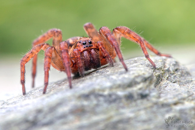 Trochosa terricola - Ground Wolf Spider