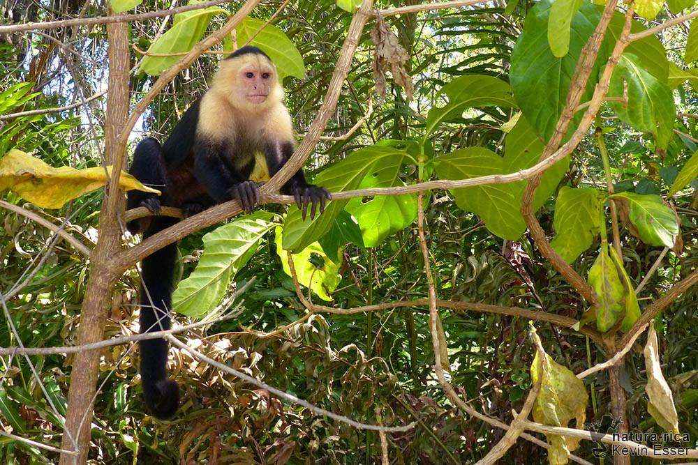 Cebus capucinus - White-headed Capuchin