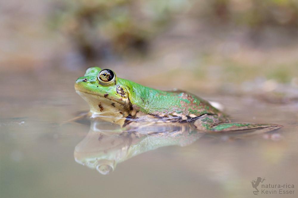 Pseudis paradoxa - Paradoxical Frog