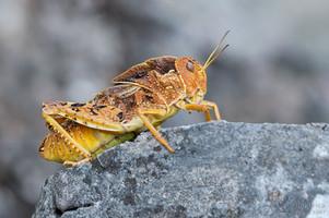 Prionotropis hystrix - Eastern Stone Grasshopper
