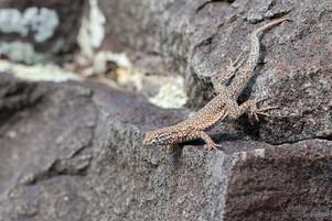 Sceloporus graciosus graciosus - Northern Sagebrush Lizard