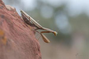 Mantis religiosa - Europäische Gottesanbeterin