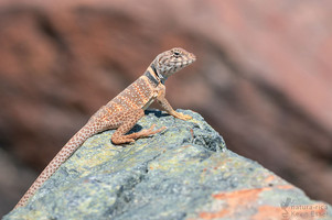 Crotaphytus bicinctores - Great Basin Collared Lizard