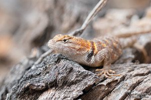 Sceloporus magister - Desert Spiny Lizard