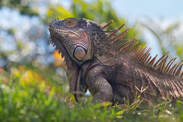 Iguana iguana - Green Iguana