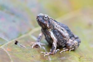Engystomops pustulosus - Tungara-Frosch