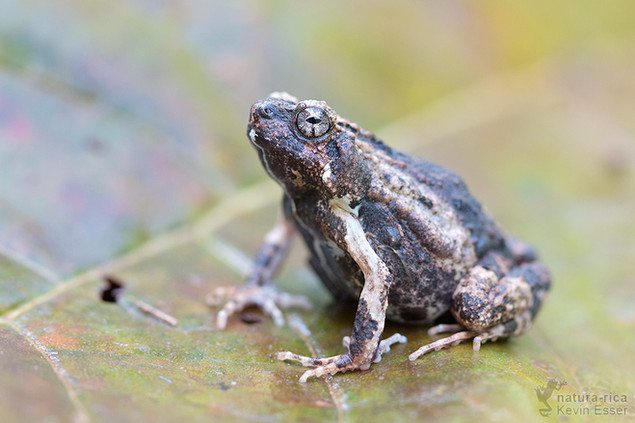 Engystomops pustulosus - Tungara Frog