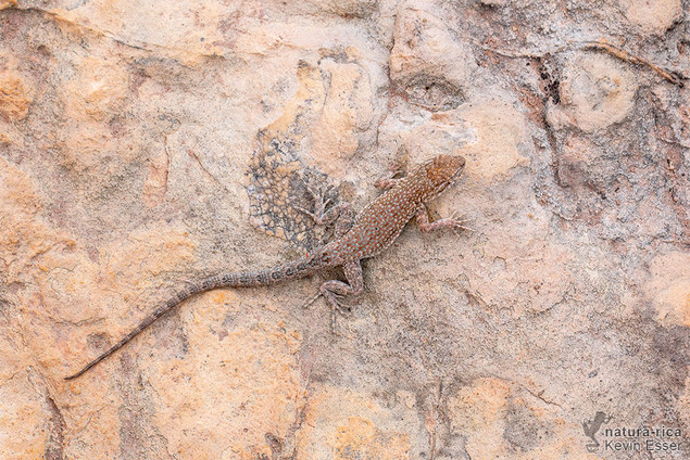 Uta stansburiana - Side-blotched Lizard