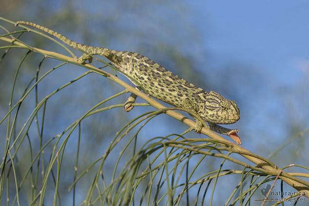 Chamaeleo chamaeleon - Mediterranean Chameleon