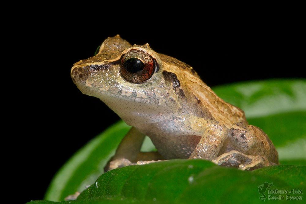 Pristimantis ridens - Pygmy Rain Frog