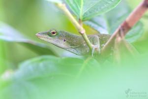 Anolis biporcatus - Mittelamerikanischer Grüner Anolis