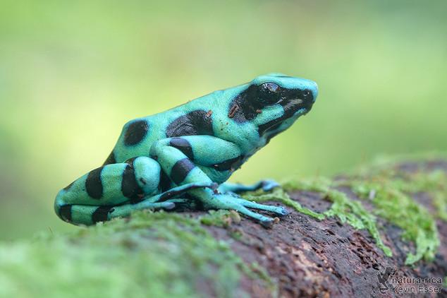 Dendrobates auratus - Green and Black Poison Dart Frog