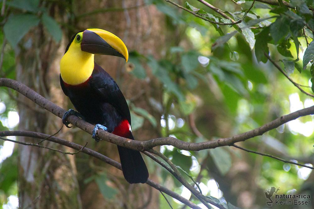 Ramphastos ambiguus - Yellow-throated Toucan