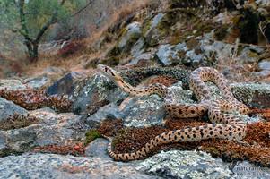 Pituophis catenifer deserticola - Great Basin Gopher Snake